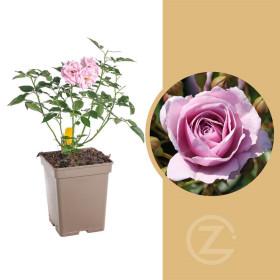 Růže mnohokvětá Kordes, Rosa Nautica, fialová, velikost kontejneru 5 l