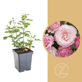 Růže mnohokvětá Kordes, Rosa Rosenfaszination, růžová, velikost kontejneru 5 l