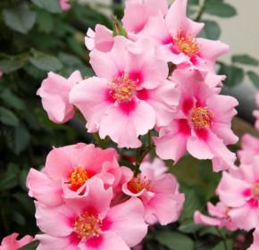 Růže mnohokvětá Kordes, Rosa See You In Pink, růžová, velikost kontejneru 2 l