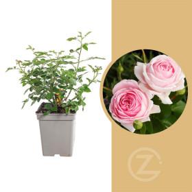 Růže mnohokvětá Kordes, Rosa Wellenspiel, růžová, velikost kontejneru 5 l