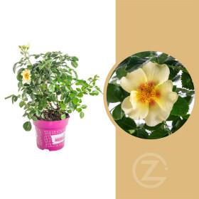 Růže mnohokvětá, Rosa Eye of the Tiger, žluto - červená, velikost kontejneru 4.6 l