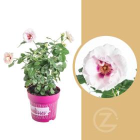Růže mnohokvětá, Rosa Eyes for You, bílo - fialová, velikost kontejneru 4.6 l
