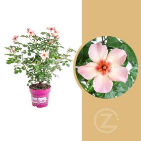 Růže mnohokvětá, Rosa For Your Eyes Only, lososovo - růžová, velikost kontejneru 4.6 l