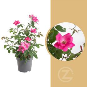 Růže mnohokvětá, Rosa Knock Out, růžová, velikost kontejneru 4.5 l