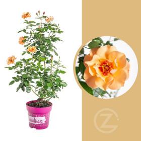 Růže mnohokvětá, Rosa Persian Sun, oranžovo - červená, velikost kontejneru 4.6 l