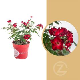 Růže mnohokvětá, Rosa Rosy Boom Color Change, červeno - bílá, velikost kontejneru 6 l