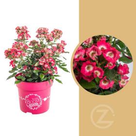 Růže mnohokvětá, Rosa Rosy Boom Mini, růžová, velikost kontejneru 6 l