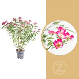 Růže mnohokvětá, Rosa Rosy Boom Ohara, růžová, velikost kontejneru 6 l