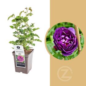 Růže, Rosa Minerva, fialová, velikost kontejneru 5 l