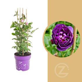 Růže, Rosa Minerva, fialová, velikost kontejneru 6 l