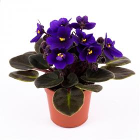 Saintpaulia - africká fialka