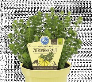 Satureja biflora - Citronová bylina