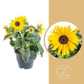 Slunečnice, Helianthus, žlutá, průměr květináče 23 cm