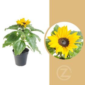 Slunečnice, Helianthus, žlutá, velikost květináče 13 cm
