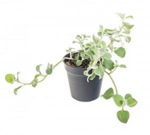 Smil řapíkatý, Helichrysum patiolare, průměr květináče 10 - 12 cm