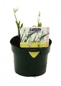 Sněženka podsněžník, Galanthus nivalis, rychlená, květináč 10.5 cm