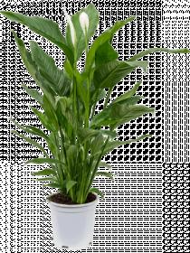Spathiphyllum - Lopatkovec velký
