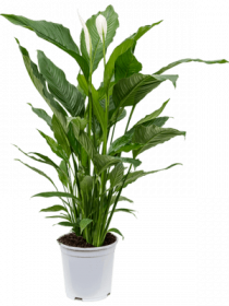 Spathiphyllum - Lopatkovec