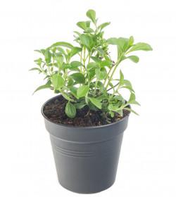 Stévie sladká, Stevia rebaudiana, v květináči