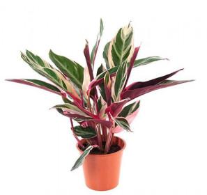 Stromanthe, Stromanthe Triostar, průměr květináče 12 cm