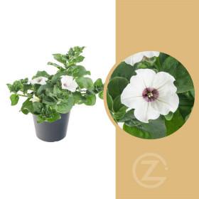 Surfinie převislá, bílá, velikost květináče 10 - 12 cm