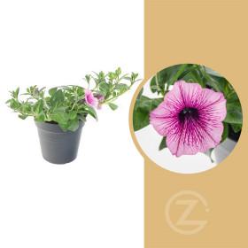 Surfinie převislá, bílo - fialová, průměr květináče 10 - 12 cm