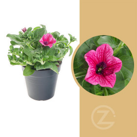 Surfinie převislá, světle růžová, průměr květináče 10 - 12 cm