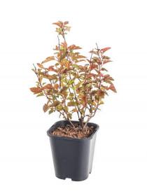 Tavola kalinolistá, Physocarpus opulifolius Little Angel, velikost kontejneru 1.4 l