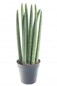 Tchýnin jazyk, Sansevieria cylindrica, průměr květináče 12 cm
