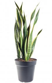Tchýnin jazyk, Sansevieria laurentii, průměr květináče 24 cm