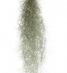 Tilandsie provazovkovitá, Tillandsia usneoides, závěs 45 - 50 cm dlouhý
