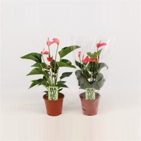 Toulitka, Anthurium Anthedesia Pink, růžová, průměr květináče 13 - 15 cm