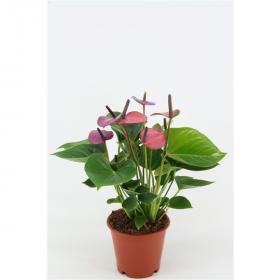 Toulitka, Anthurium Baby Purple, tmavě fialová, průměr květináče 13 - 15 cm