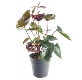 Toulitka, Anthurium Giant chocolate, tmavě hnědá, průměr květináče 14 cm