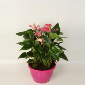Toulitka, Anthurium Pink Fever, růžová, průměr květináče 24 cm
