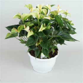 Toulitka, Anthurium Princess Alexia White, bílá, průměr květináče 24 cm