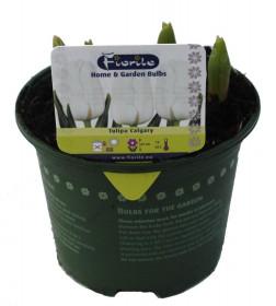 Tulipán bílý, rychlený, květináč 10 - 12 cm