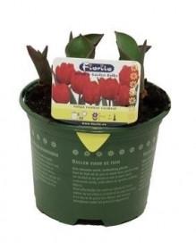 Tulipán červený, rychlený, květináč 10 - 12 cm