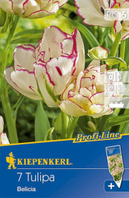 Tulipán cibule, Tulipa Belicia, bílo - růžová, balená, 7 ks