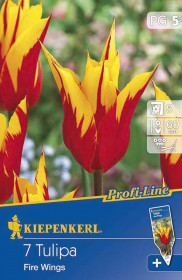 Tulipán cibule, Tulipa Fire Wings, červeno - žlutá, balená, 7 ks