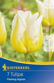 Tulipán cibule, Tulipa Flaming Agrass, bílo - žlutá, balená, 7 ks