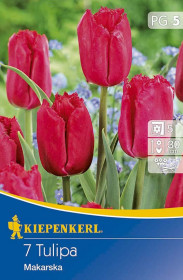 Tulipán cibule, Tulipa Makarska, červená, balená, 7 ks