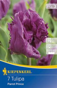 Tulipán cibule, Tulipa Parrot Prince, fialová, balená, 7 ks