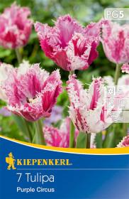 Tulipán cibule, Tulipa Purple Circus, růžovo - bílá, balená, 7 ks
