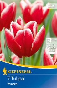 Tulipán cibule, Tulipa Vampire, červeno - bílá, balená, 7 ks
