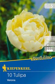 Tulipán cibule, Tulipa Verona, světle žlutá, balená, 10 ks