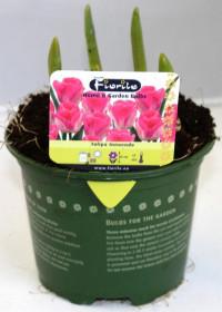 Tulipán růžový, rychlený, květináč 10 - 12 cm