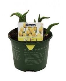 Tulipán žlutý, rychlený, květináč 10 - 12 cm