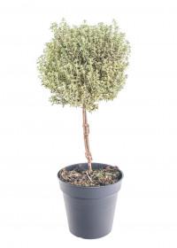 Tymián obecný, Thymus vulgaris, na kmínku, v květináči
