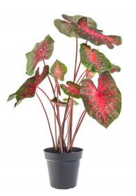 Užovník, Caladium, Malawi, průměr květináče 17 cm
